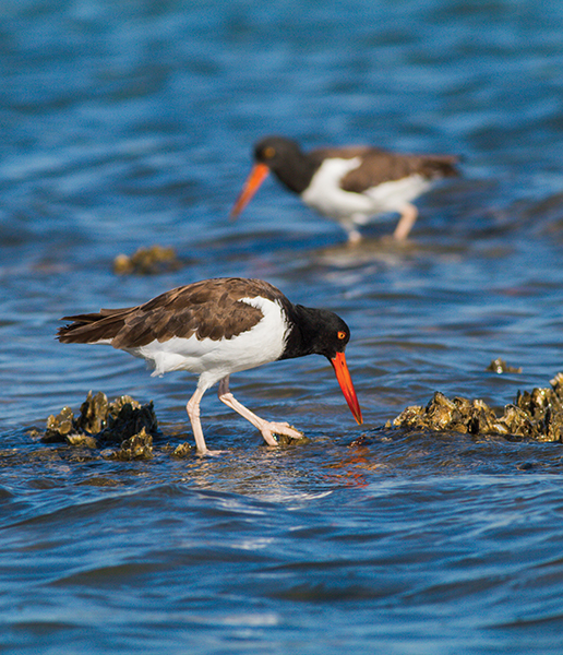 American-Oyster-Catcher