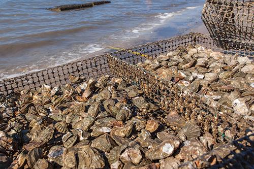 Bluffton Oyster Farming