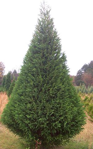 Carolina Sapphire Christmas Tree