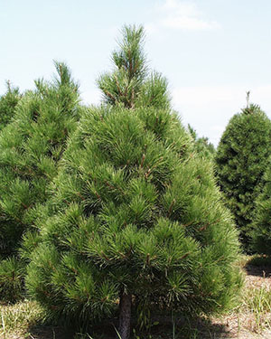 Eastern White Pine Christmas Tree