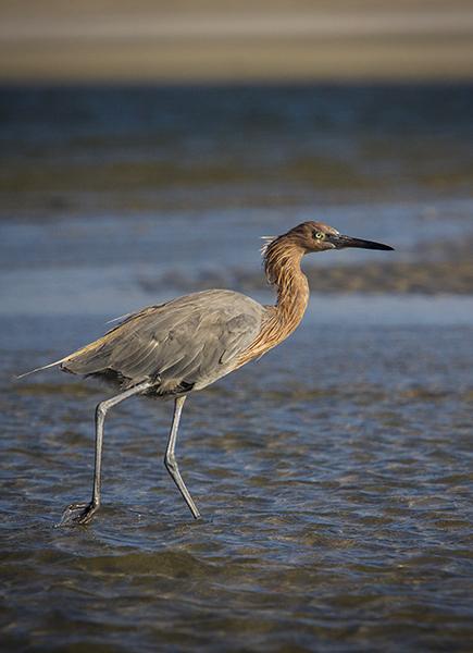 Heron-in-pluff-mud