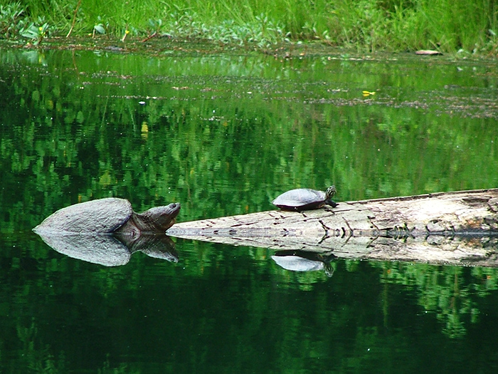 Turtles in the Swamp